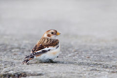 Male Snow Bunting in winter Royalty Free Stock Photo