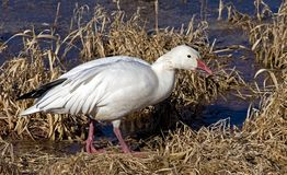 Male Snow Goose. Foraging during spring migration Royalty Free Stock Image