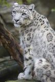 Male snow leopard, Uncia uncia. The male snow leopard, Uncia uncia Royalty Free Stock Photos