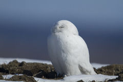 Male Snowy Owl Stock Image