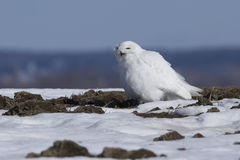 Male Snowy Owl Royalty Free Stock Photography