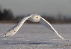 A Male Snowy owl Bubo scandiacus flies low hunting over an open sunny snowy cornfield in Ottawa, Canada stock photography