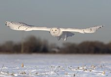 A Male Snowy owl Bubo scandiacus flies low hunting over an open sunny snowy cornfield in Ottawa, Canada. Male Snowy owl Bubo scandiacus flies low hunting over an stock images