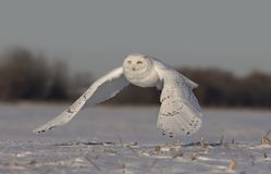 A Male Snowy owl Bubo scandiacus flies low hunting over an open sunny snowy cornfield in Ottawa, Canada stock photo