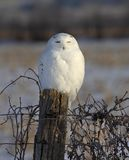 A Male Snowy owl Bubo scandiacus perched on a wooden post at sunrise in winter in Ottawa, Canada stock photography