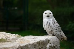 Male snowy owl. Full body of male snowy owl. Photography of wildlife Stock Image
