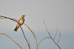 Male Song thrush. In the morning sun Stock Photos