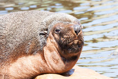 Male South American Fur Seal portrait. A portrait of a male South American Fur Seal Stock Photo