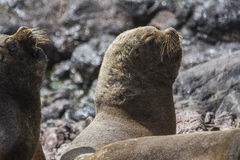 Male South American Sea Lion. Sea lion male in penguin island in patagonia Royalty Free Stock Photography
