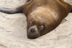Male South American sea lion 1. Male South American sea lion resting on a sandy beach Royalty Free Stock Image