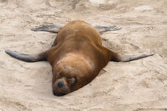 Male South American sea lion who sleeps on a sandy. Beach Stock Image