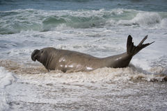 Male southern elephant seal. Peninsula Valdes, Patagonia, Argentina Stock Photos