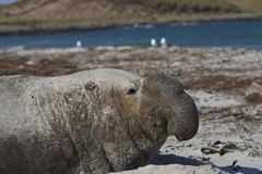 Male Southern Elephant Seal. Battle scarred Male Southern Elephant Seal [Mirounga leonina] lying on a sandy beach on Sea Lion Island in the Falkland Islands Stock Photography