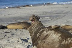 Male Southern Elephant Seal calling Royalty Free Stock Photos