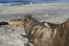 Male Southern Elephant Seal calling Stock Photos