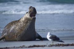 Male Southern Elephant Seal emerging from the sea. Male Southern Elephant Seal [Mirounga leonina] emerging from the sea on Sea Lion Island in the Falkland Royalty Free Stock Image