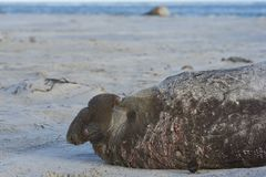 Male Southern Elephant Seal on the Falkland Islands. Battle scarred male Southern Elephant Seal [Mirounga leonina] during the breeding season on Sealion Island Stock Photos