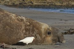 Male Southern Elephant Seal on the Falkland Islands. Battle scarred male Southern Elephant Seal [Mirounga leonina] during the breeding season on Sealion Island Stock Photography