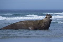 Male Southern Elephant Seal in the Falkland Islands Royalty Free Stock Image