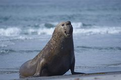 Male Southern Elephant Seal in the Falkland Islands. Male Southern Elephant Seal [Mirounga leonina] emerging from the sea on Sea Lion Island in the Falkland Royalty Free Stock Image