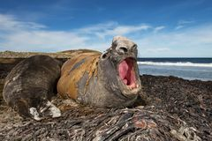 Male southern elephant seal roaring, Falkland islands. Male southern elephant seal lying on seaweeds and roaring, Falkland islands Royalty Free Stock Image