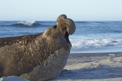 Male southern elephant seal. [Mirounga leonina] calling on the coast of Sea Lion Island in the Falkland Islands Stock Images