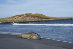 Male Southern Elephant Seal. Mirounga leonina lying on a sandy beach on Sea Lion Island in the Falkland Islands Stock Photography