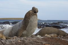 Male Southern Elephant Seal. [Mirounga leonina] manoeuvring on a sandy beach to keep an eye on rivals during the breeding season. Sea Lion Island in the Stock Photography
