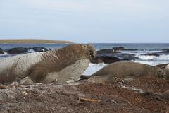Male Southern Elephant Seal Stock Image