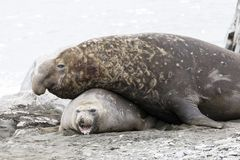 Male Southern Elephant seal mates with the female on Fortuna Bay, South Georgia, Antarctica. Male Southern Elephant seal mates with the female on Fortuna Bay stock photos