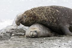 Male Southern Elephant seal mates with the female on Fortuna Bay, South Georgia, Antarctica. Male Southern Elephant seal mates with the female on Fortuna Bay royalty free stock photos