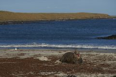 Male Southern Elephant Seal in the Falkland Islands. Male Southern Elephant Seal Mirounga leonina calling on the coast of Sea Lion Island in the Falkland Islands Stock Photography