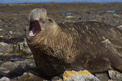 Male Southern Elephant Seal. (Mirounga leonina) on the coast of Carcass Island in the Falkland Islands Stock Images