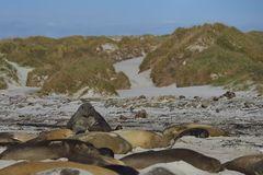 Male Southern Elephant Seal on the prowl Royalty Free Stock Photography