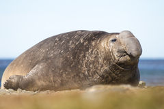 Male Southern Elephant Seal (Mirounga leonina). Falkland Islands Stock Image