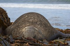 Southern Elephant Seal. Male Southern Elephant Seal [Mirounga leonina] lying on a kelp strewn beach on Sea Lion Island in the Falkland Islands Stock Image