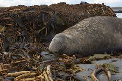 Southern Elephant Seal. Male Southern Elephant Seal [Mirounga leonina] lying on a kelp strewn beach on Sea Lion Island in the Falkland Islands Royalty Free Stock Photos