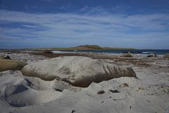 Male Southern Elephant Seal Royalty Free Stock Image