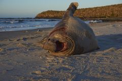 Southern Elephant Seal in the Falkland Islands Royalty Free Stock Images