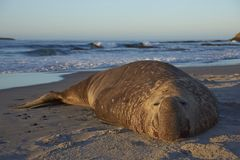 Southern Elephant Seal in the Falkland Islands Royalty Free Stock Image