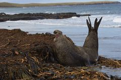 Male Southern Elephant Seal. [Mirounga leonina] pirouettes to see a rival whilst on a kelp strewn beach on Sea Lion Island in the Falkland Islands Stock Photography