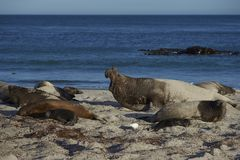 Male Southern Elephant Seal in the Falkland Islands. Male Southern Elephant Seal [Mirounga leonina] roaring to keep rivals away during the breeding season. Sea Royalty Free Stock Photos