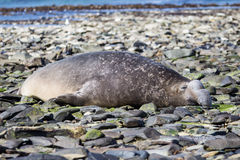 Male Southern Elephant Seal (Mirounga leonina) sleeping/resting Stock Photography