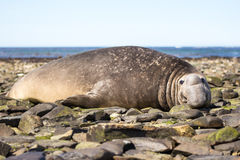 Male Southern Elephant Seal resting on beach. Falkland Islands Royalty Free Stock Photo