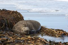 Male Southern Elephant Seal scratching Royalty Free Stock Images