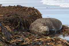 Male Southern Elephant Seal scratching. Male Southern Elephant Seal [Mirounga leonina] scratches itself with a flipper whilst lying on a kelp strewn beach on Sea Royalty Free Stock Photos