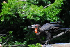 Male Southern Ground Hornbill. The male Southern Ground Hornbill is characterized by black coloration and vivid red patches of bare skin on the face and throat Stock Photography