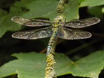 Male Southern Hawker dragonfly Stock Photo
