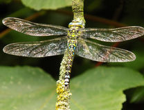Male Southern Hawker dragonfly royalty free stock photography
