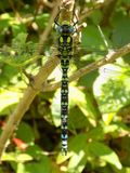 Male Southern Hawker dragonfly stock images